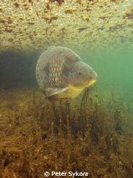 Cyprinus carpio by Peter Sykora 